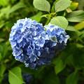 写真: ハート形っぽい紫陽花
