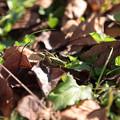 写真: 落ち葉とバッタ