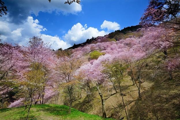 吉野山 千本桜