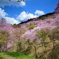 Photos: 吉野山 千本桜