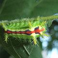 写真: クロシタアオイラ蛾の幼虫