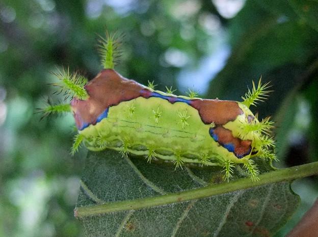 写真: イラガの幼虫