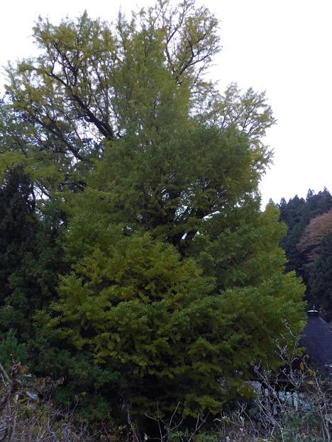 河内堂イチョウの木