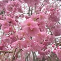 写真: 櫻雨綿綿