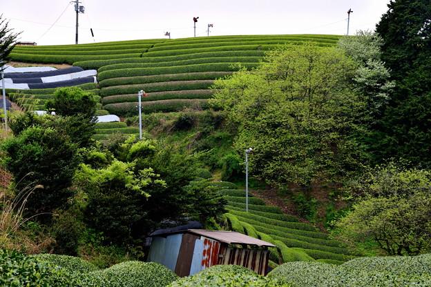 2017_0501_135600 宇治田原の茶畑