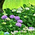 2017_0611_142157 紫陽花園