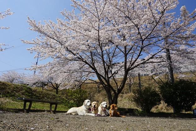 サクラ満開 花わんこ