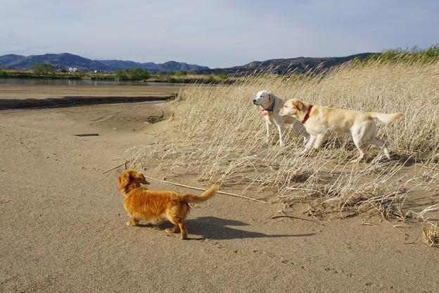 写真: 川原犬