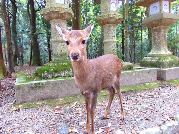 春日大社の小鹿ちゃん
