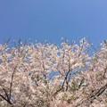 写真: 近所のソメイヨシノ02