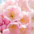 写真: 桜咲