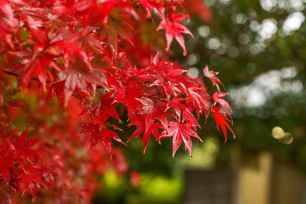 Photos: 秋紅葉