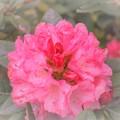 DSC_4254 石楠花