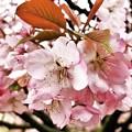 IMG_3387 兼六園熊谷桜