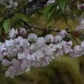 DSC_4646 浄教寺てまり桜