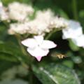 写真: IMG_7331 花蜂のホバリング