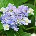 写真: アジサイ色の紫陽花