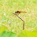 写真: 羽休め(赤)