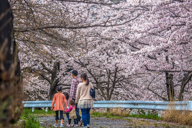 写真: 賞櫻花