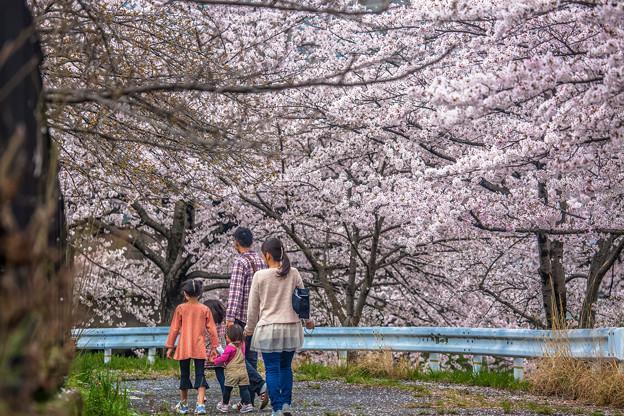Photos: 賞櫻花