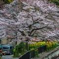 写真: 櫻之美