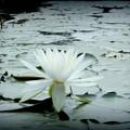 写真: 蒼白の睡蓮