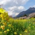 写真: 菜の花揺れる桜並木