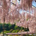 Photos: 藤の川