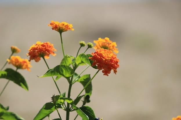 オレンジ色の花・・・