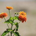 写真: オレンジ色の花・・・