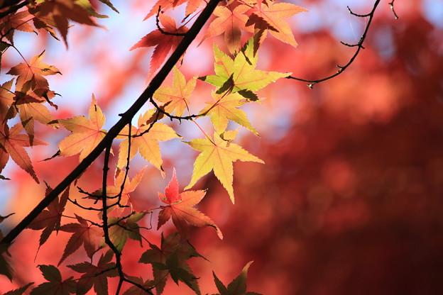 写真: 紅葉1
