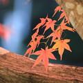 写真: かわいい紅葉