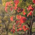 写真: これも紅葉