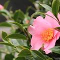 写真: ピンクのサザンカ