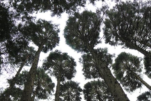 写真: 杉木立2