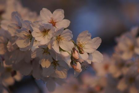 朝陽をあびる桜・その2