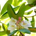 写真: 遅咲きの石楠花