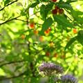 写真: 赤い実と紫の花
