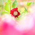 写真: ダリア六分咲き