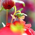 写真: 秋のベニちゃん