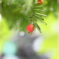 写真: 秋の赤い実