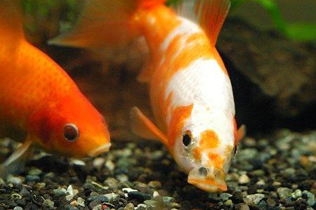 エサを食べる金魚