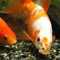 写真: エサを食べる金魚