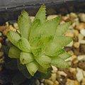 写真: H. reticulata v.hurlingii