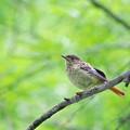 ジョウビタキ幼鳥