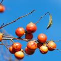 写真: 里山の柿