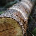Photos: 伐採