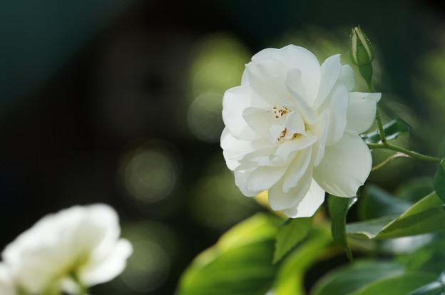 写真: 薔薇の初夏