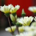 写真: 白い花と朱い鳥居