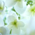 写真: 紫陽花咲いた